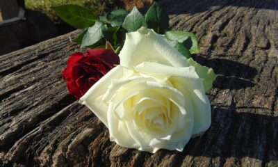 What Are Some amazing uses of roses